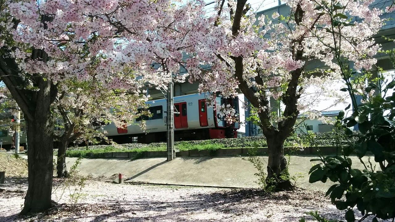 815系桜