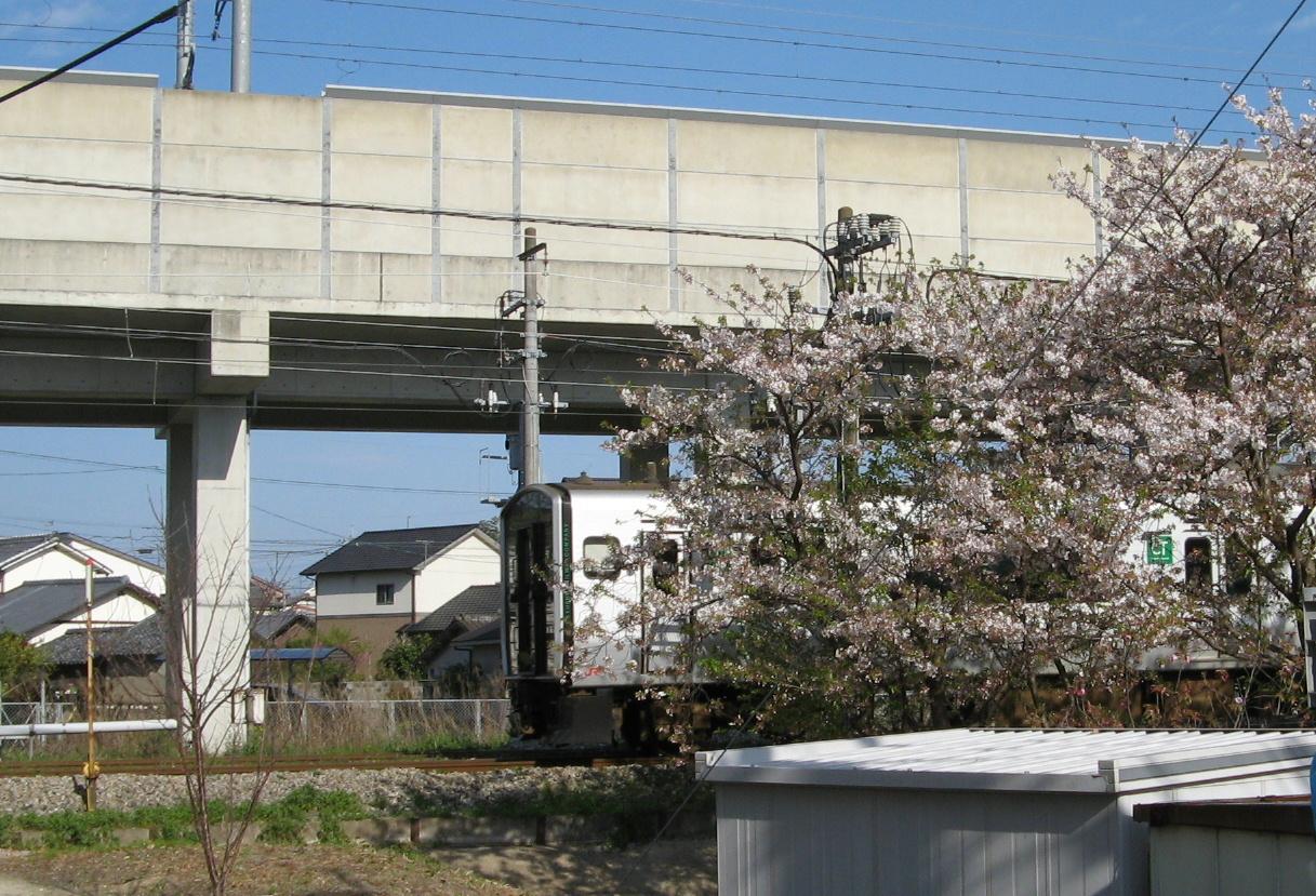 817系桜