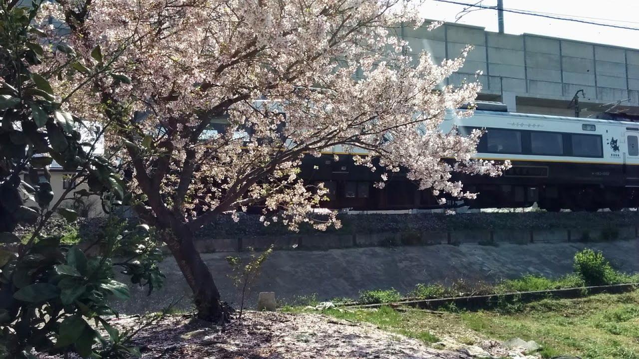 あそぼーい桜