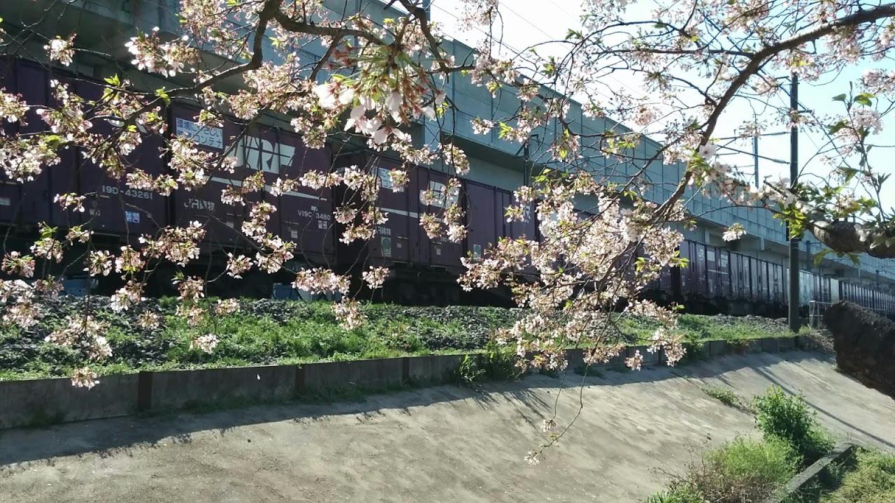貨物列車と桜