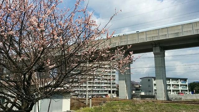 梅と新幹線