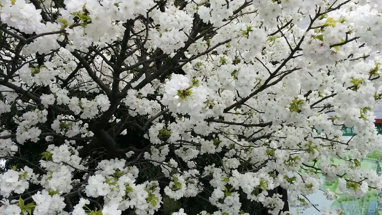 white-sakura.jpg