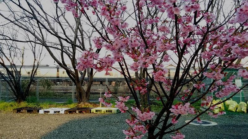 787系と桜
