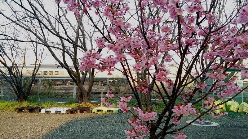 陽光桜と787系