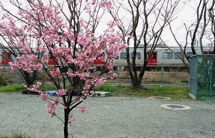 桜と813系