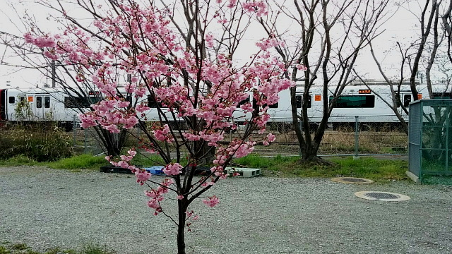 桜と817系