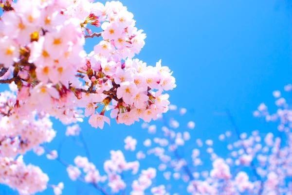 20170317 桜