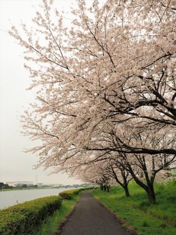 権現堂公園(行幸湖)のサクラ