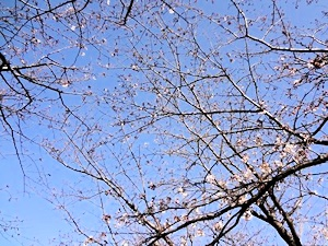 こんな感じの筑波嶺の桜