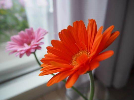 ガーベラ オレンジ1702
