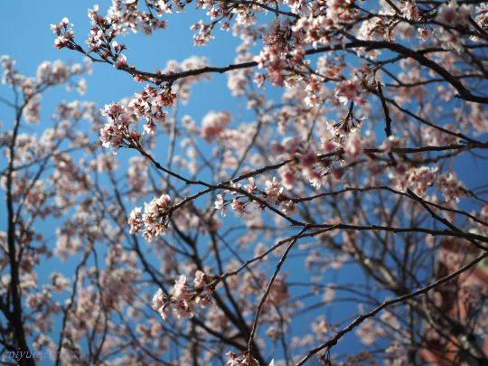 桜170402