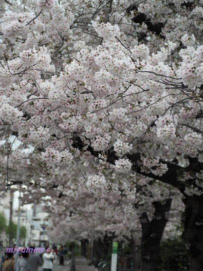 桜並木-望遠170409