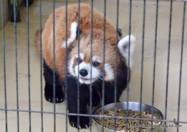 大島公園 動物園 レッサーパンダ
