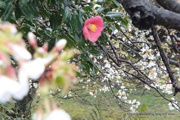 大島公園 動物園 椿 桜