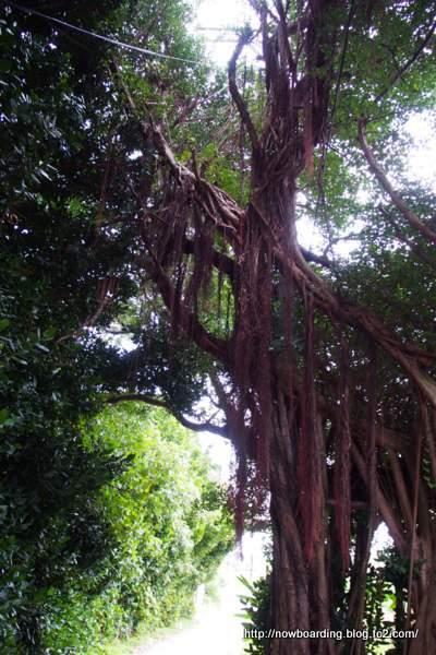 ガジュマルの木 沖縄