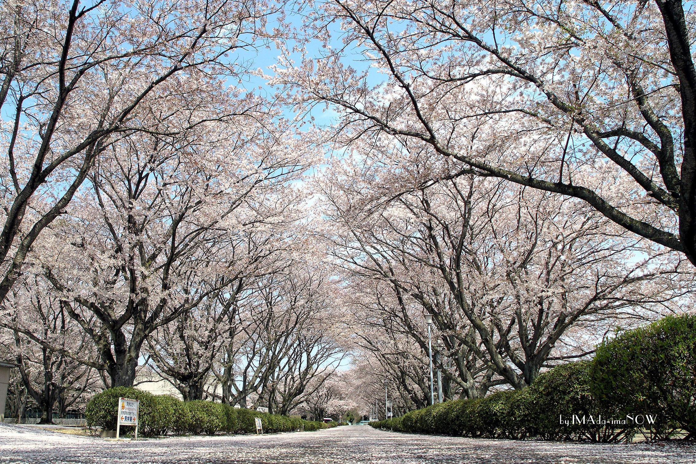 2005 桜並木