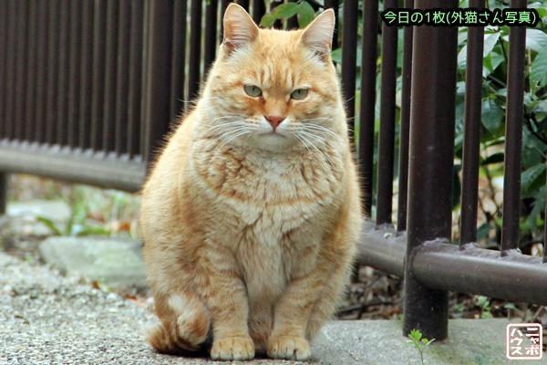 おにぎり チャトラ猫さん♪