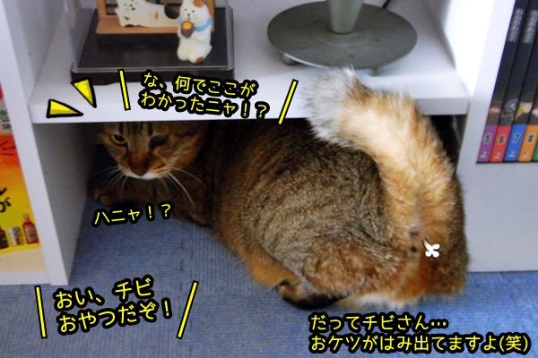 猫 チビ 頭隠して尻隠さず