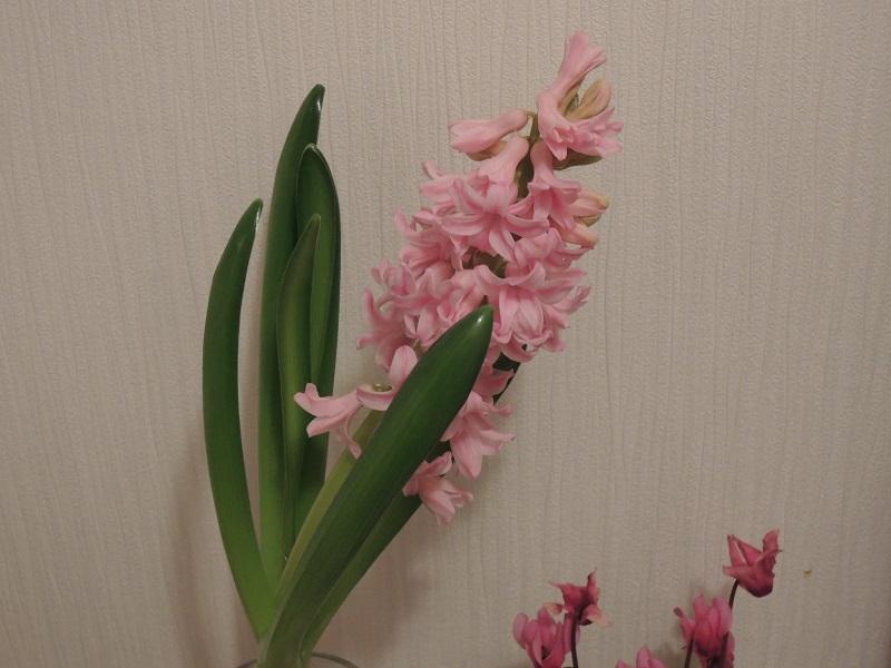 ヒヤシンスが咲きました