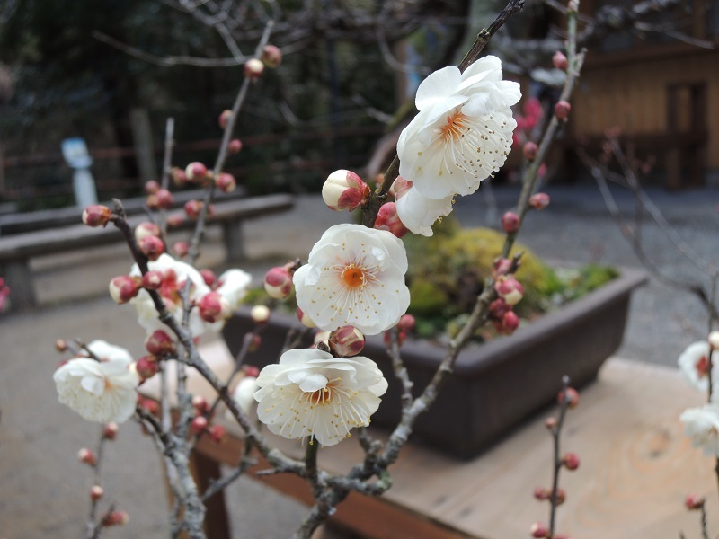 盆梅の展示