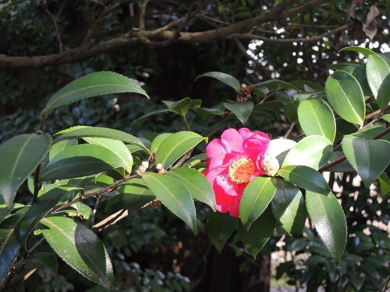 椿の花が咲いています