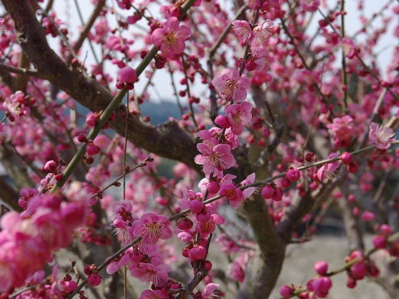 寿長生の郷 満開の梅