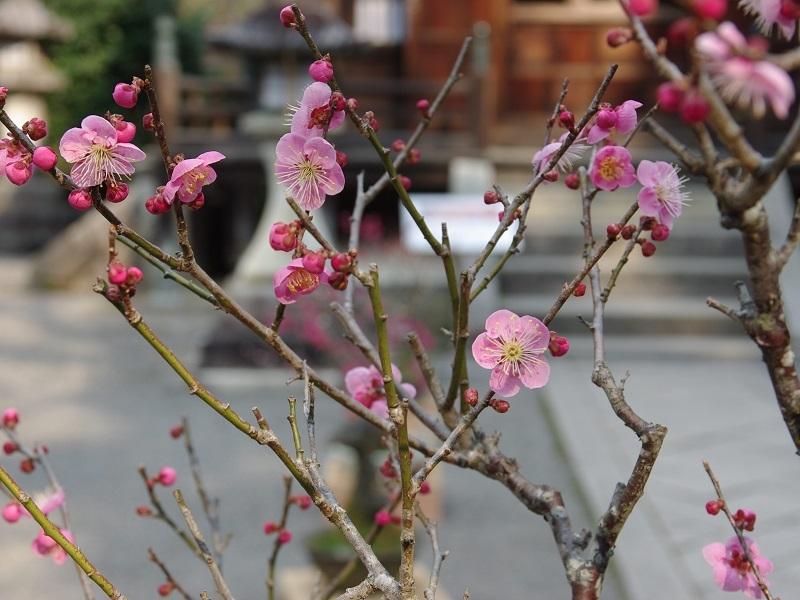 石山寺 盆梅