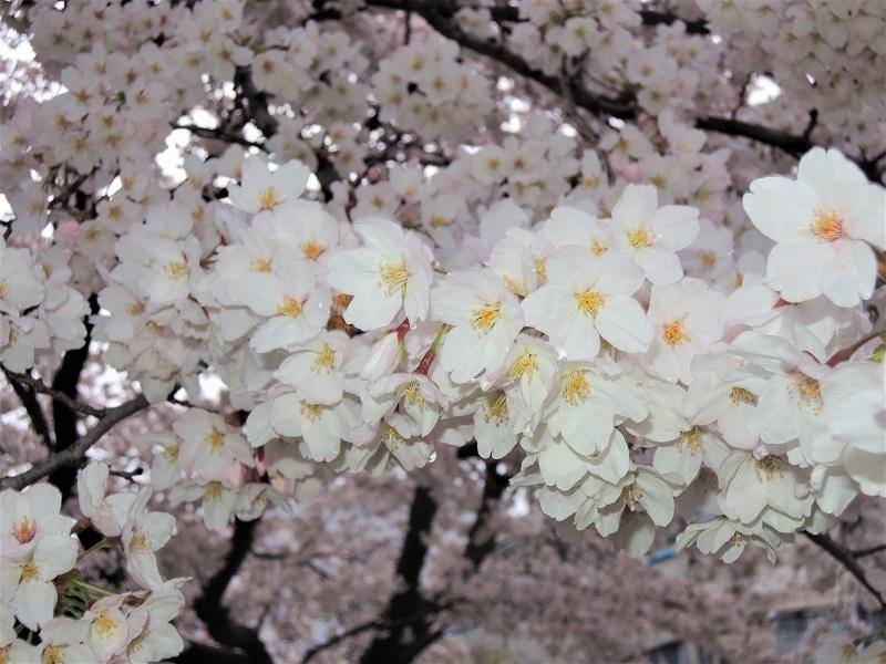 近所の公園の桜 その3