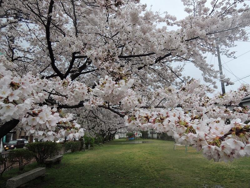 近所の公園の桜 その2