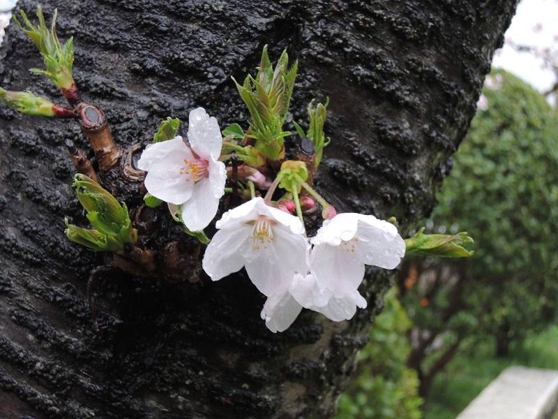 近所の公園の桜 その5