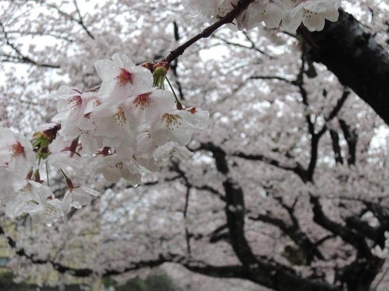 近所の公園の桜 その8