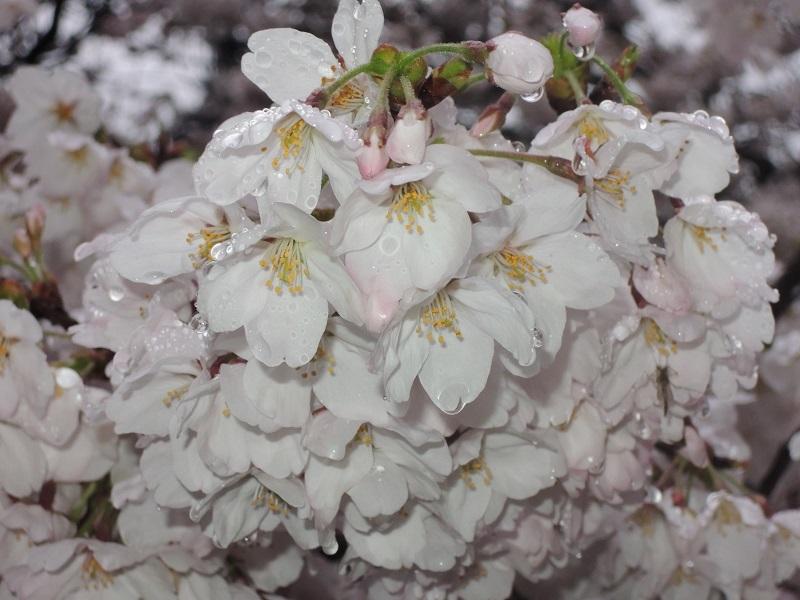 近所の公園の桜 その7
