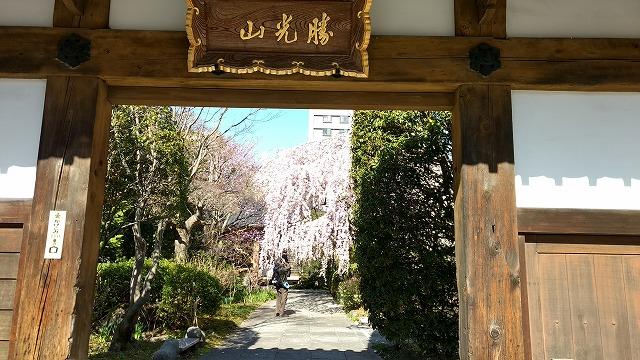 1704sakura005.jpg