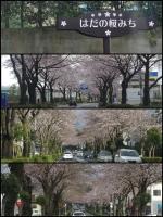 神奈川県秦野市はだの桜みち