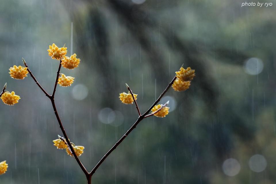 雨のミツマタ_2