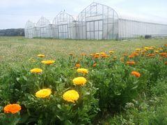 【写真】本圃ハウスの北側にあるキンセンカの花畑の様子