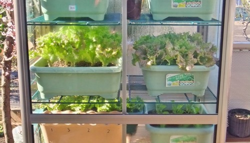 170303onsitu_lettuce2