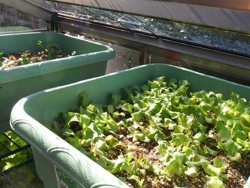170303onsitu_lettuce