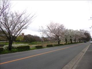 2017-04-09 ぎゃらりーさくら さくら (3).JPG