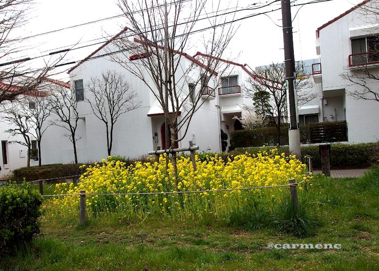 菜の花と住宅