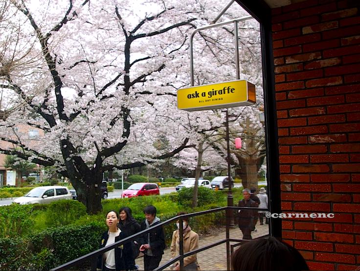 店内窓から桜