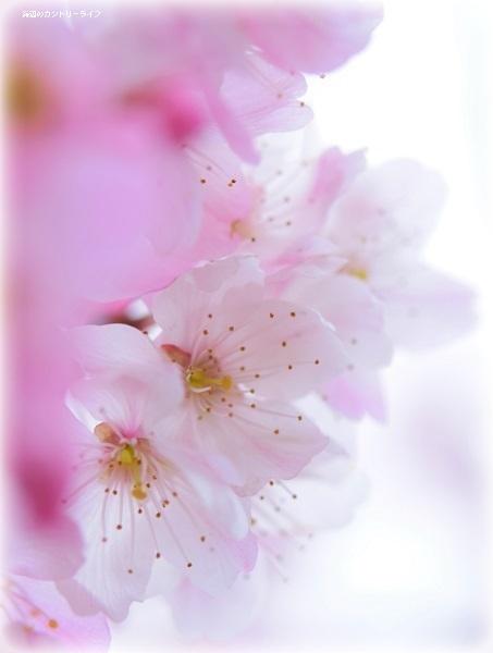 桜の季節と共に