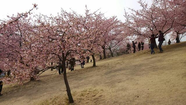 河津桜傾斜1