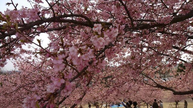 キレイな河津桜