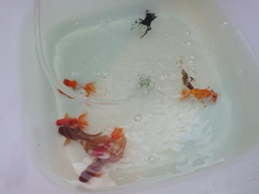 金魚が流行り (16)