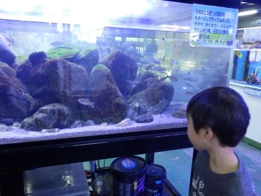 金魚が流行り (17)