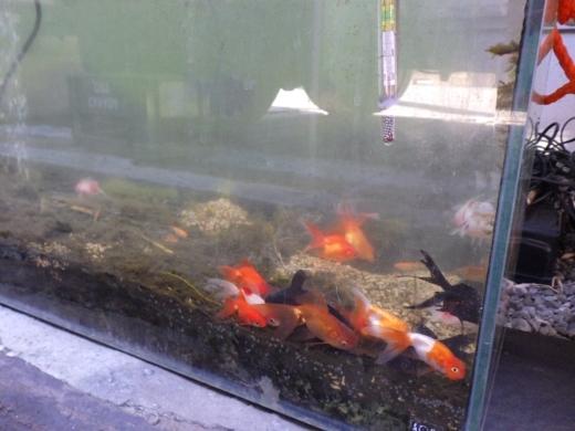 金魚が流行り (21)
