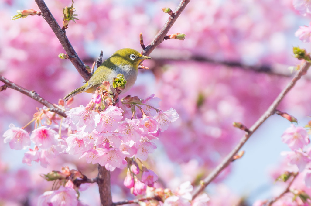 170303河津桜とメジロ