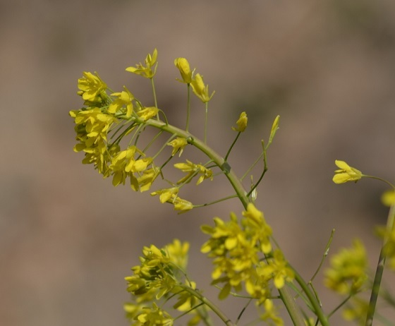 DSC_8832水菜の花