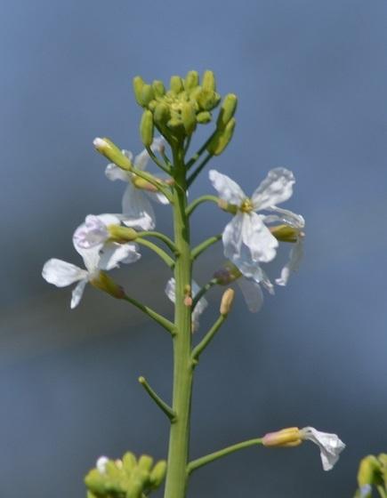 DSC_8839大根の花